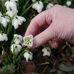 Snowdrop close up