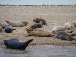 The seals at Blakeney