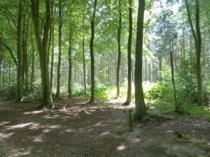 Walking in Bacton Woods