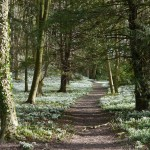Carpets of snowdrops